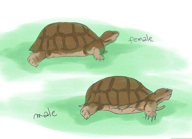 Sådan hæver du skildpadder