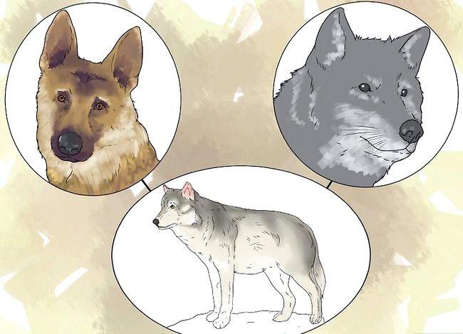 Billede titel Own a Pet Wolf Trin 1